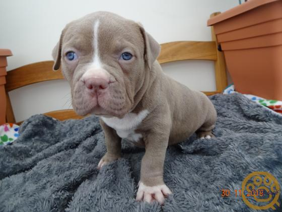 AMERICAN-BULLY PUPS FOR SALE