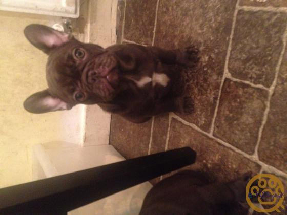 Blue French bulldogs with chocolate DNA lines ALL PUPPIES NOW SOLD !!!!!