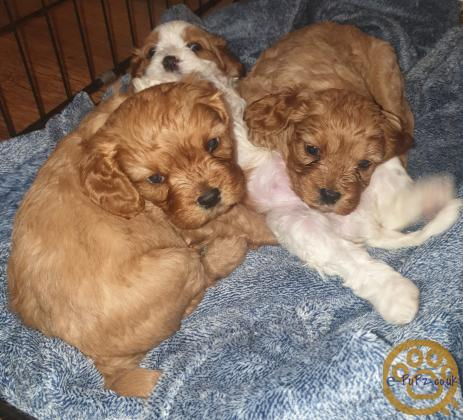 Cavapoochon puppies for sale available in 3 weeks