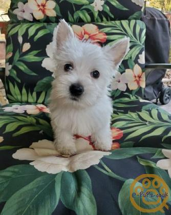 Family raised Kc Registered West Highland White Terrier puppies Ready Now