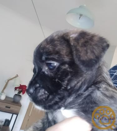 French bulldog mix breed