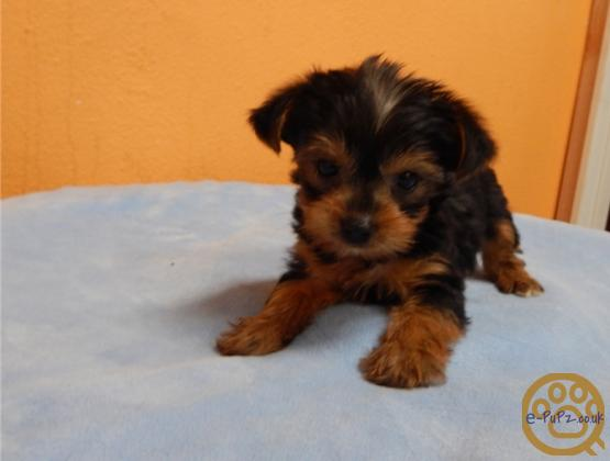 friendly, loving and energetic yorkshire terrier puppies have nice face and a great personality.