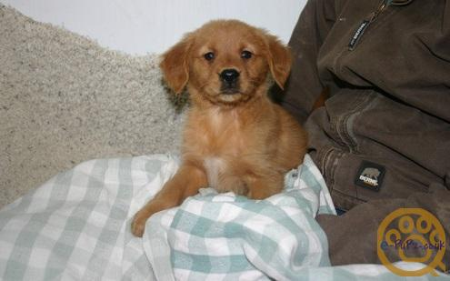 Our puppies Golden Retriever are raised in our home. They are happy, healthy and have the sweetest,