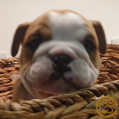 Show Quality British Bulldog puppies