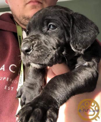 Great Dane x Springel Spaniel puppies