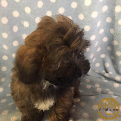 CUTE AND CUDDLY LOW SHEDDING TOY POODLE X SHIHTZU PUPPIES - MILO AND BOBBY