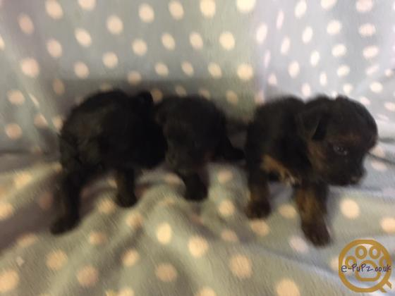 YORKIEPOO PUPPIES available end january