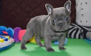 friendly, loving and energetic french bulldog puppies have nice face and a great personality