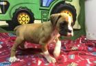 Family raised fawn boxer with a Black mask and nice white markings Ready Now