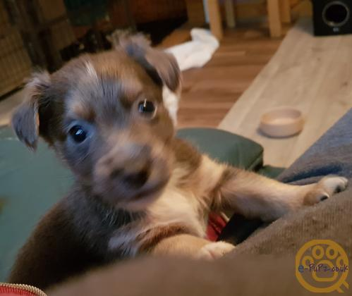 Jack Russell x dachshund puppies  x4