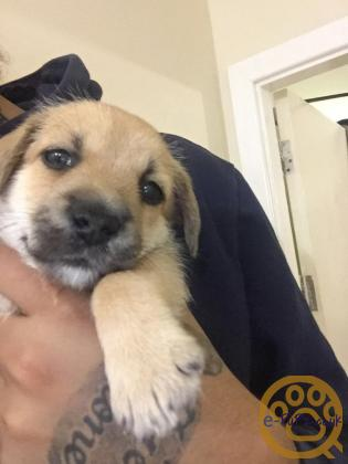 Pomchi Boy Available for sale