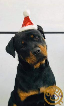 Rottweiler pup 9 month old