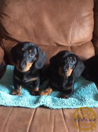 Miniature Dachshund Puppies KC Registered