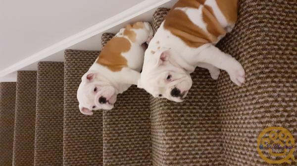 2 ADORABLE RED AND WHITE KC REG BULLDOG PUPPIES!!  MUST SEE.