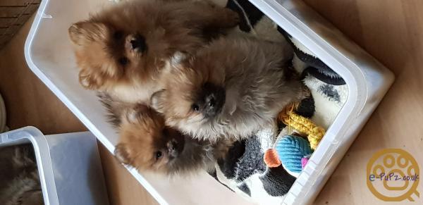 Pedigree Pomeranian Puppies