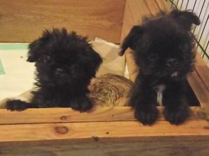 PUG X LHASA APSO PUPS  READY NOW