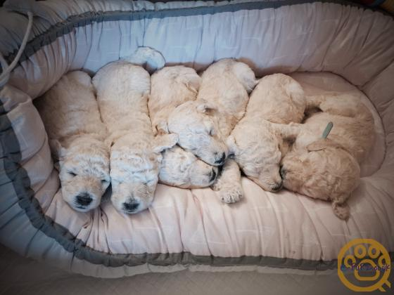 Standard poodle puppies for sale apricot and white