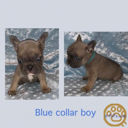 **Stunning French Bulldog Puppies**