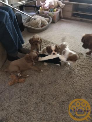 Adorable Cavalier King Charles puppies