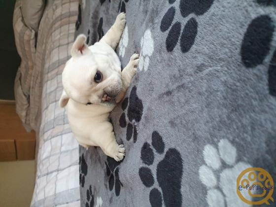 Micro Bred French Bulldog Puppies