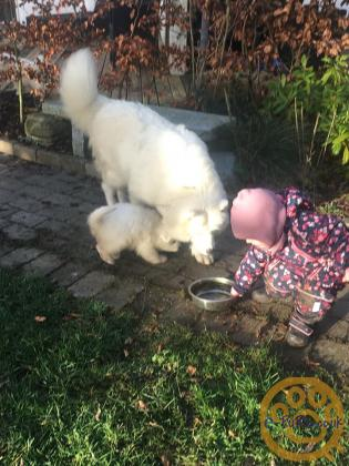 Trained Samoyed Puppies For Sale