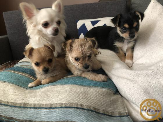 Adorable F1 Chorkie Puppies