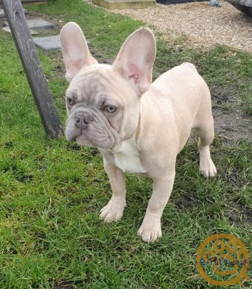 Kc registered Blue & tan male fawn female  lilac male french Bulldog  21week old (FRENCHIES)