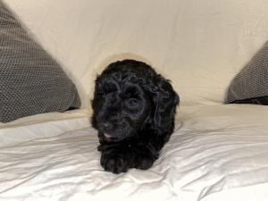 Beautiful black and brown cockapoo puppies