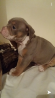Old tyme English bulldog puppies for sale