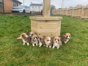 Kc Registered Puppies From A Home With Children!