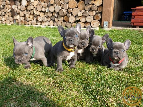 Beautiful top quality French Bulldog I have 2 blue girls and 3 blue boys