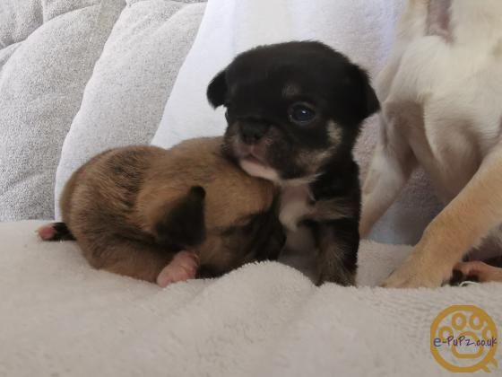Chihuahua x Japanese Chin Puppies