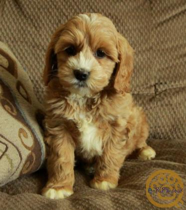 Gorgeous litter of cockapoo puppies