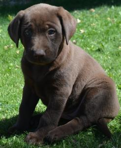 Cocolate , silver and cream labrador retriver puppies avaliable for new home now,