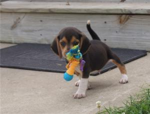 miniature beagle puppies ready for new family now