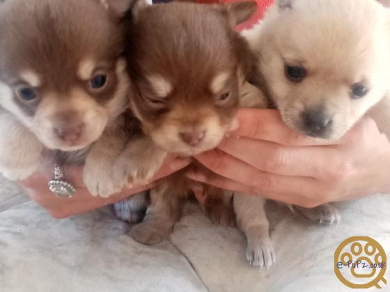 Beautiful chihuahua pups