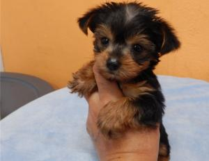 Beautiful top quality yorkshire terrier I have 2 blue girls and 3 blue boys