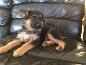 German Shepherd puppies looking for their forever home!