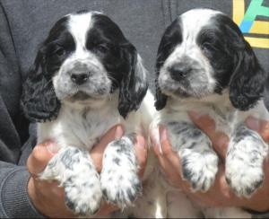 Gorgeous litter of cocker spaniel puppies