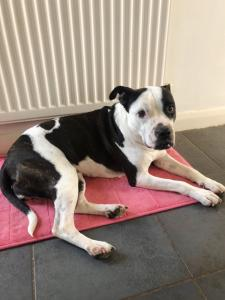 HOME URGENTLY NEEDED FOR STAFFORDSHIRE BULL TERRIER