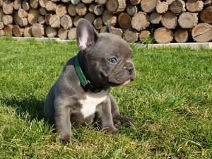 PURE BREED French Bulldog Puppies, one of best blood line combination,