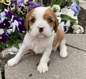 we have sweet little Cavalier King Charles Spaniel puppies. Mom and Dad are 14 to 16lbs.
