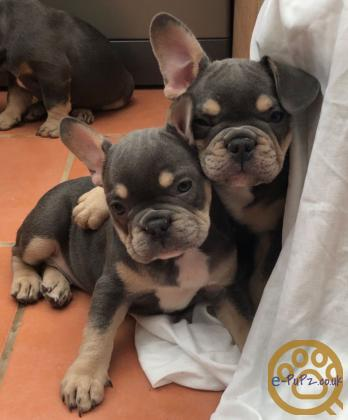 Cute French bulldog puppy for a new home
