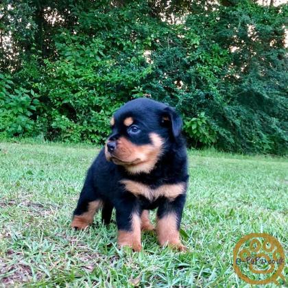 KC Rottweiler Puppies