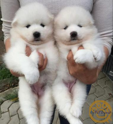 Top quality Samoyed Puppies I have 2 girls and 2  boys