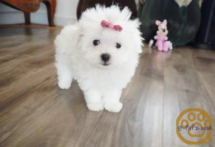Beautiful Maltese Puppies For Sale Girls And Boys