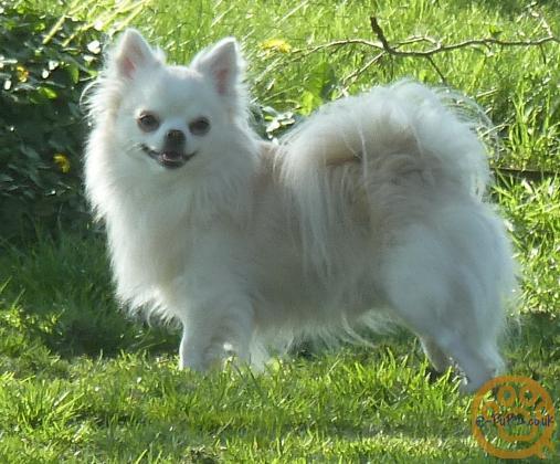 Beautiful White long coated Chihuahua