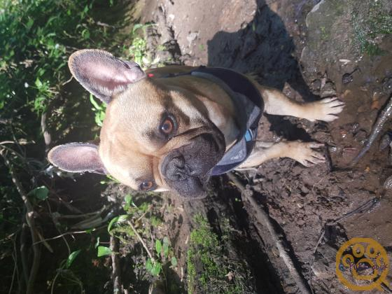 COMPLETE FRENCH BULLDOG GENE CODED KC REGISTERED QUAD
