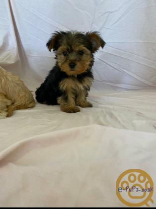 Gold dust yorkshire terrier puppies
