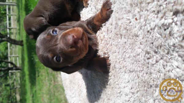 PRA clear Kc registered miniture dachshund boys for sale